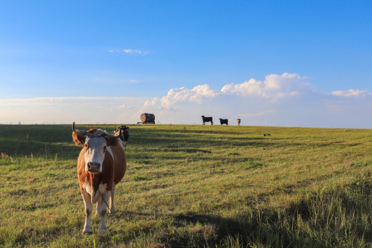 UP week 10 Cow