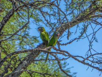 Monk parakeets [Myiopsitta monachus]